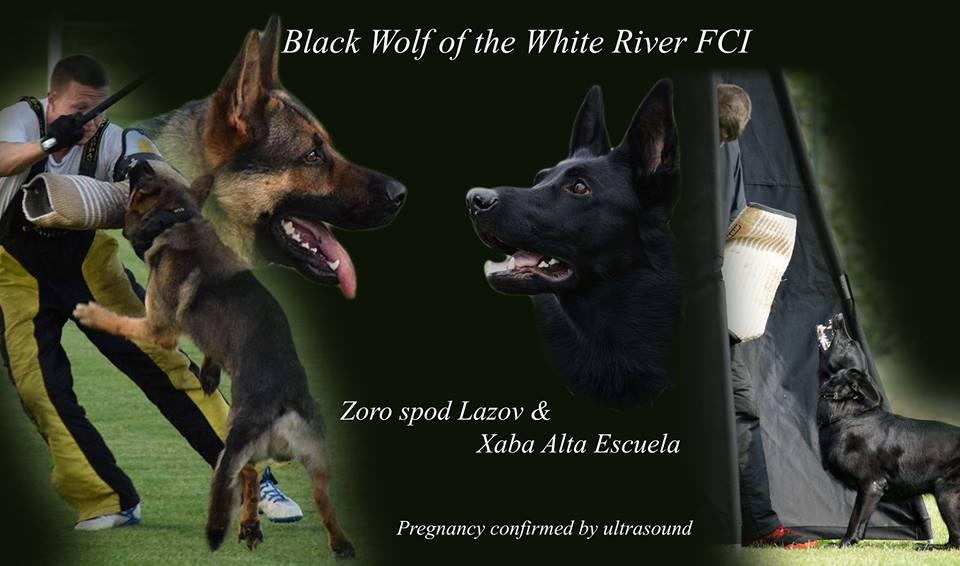 Wspaniałe szczenięta w stadzie Black Wolf of the White River