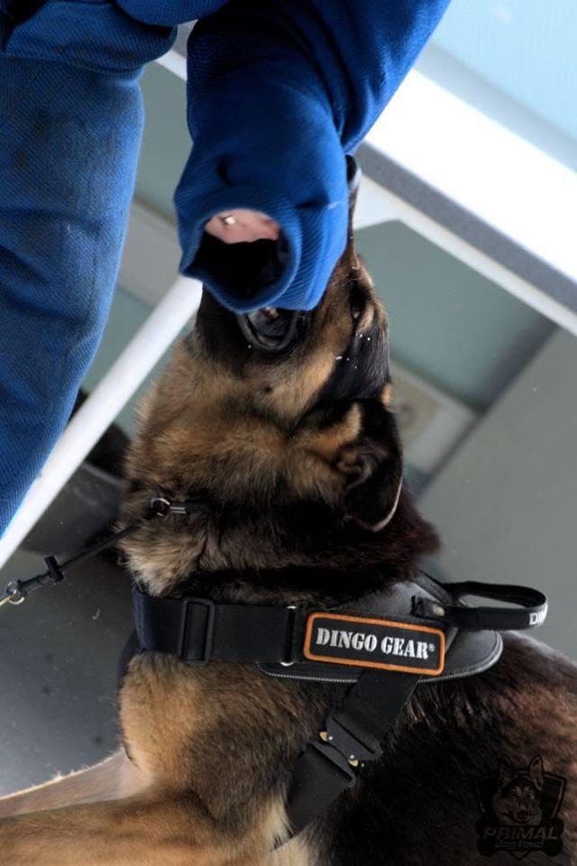 Dingo Gear Belgia – Primal Dog Food