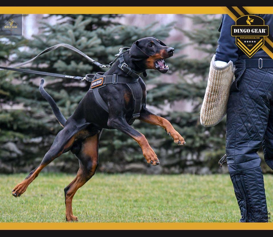 Trenuj z dobermanem i Dingo Gear