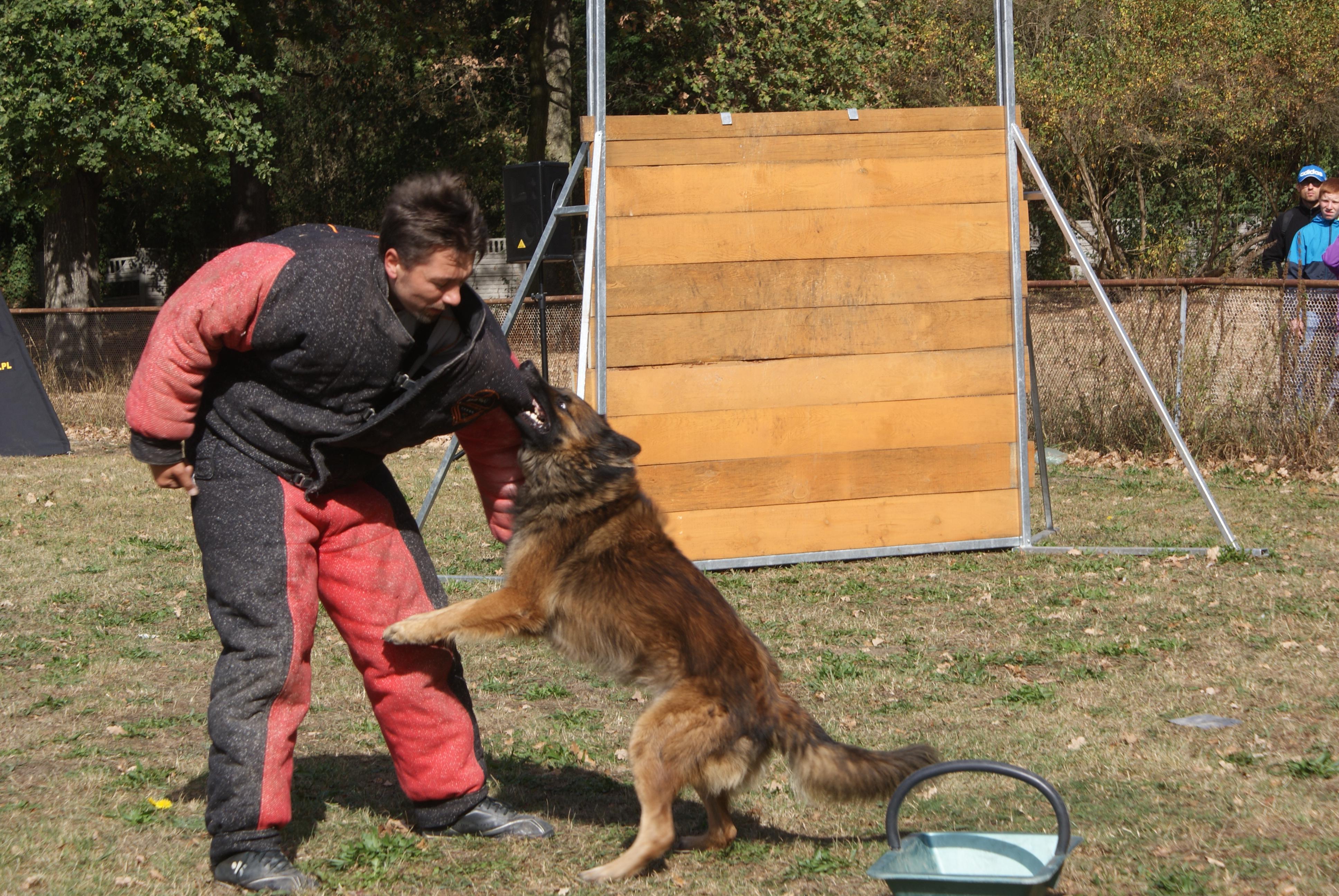Pierwszy pokazu Mondioringu we Wrocławiu podczas wystawy psów rasowych CACIB w dniach 26-27.09.2015.