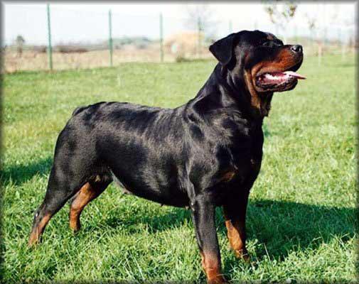Dowiedz się więcej o rasie Rottweiler