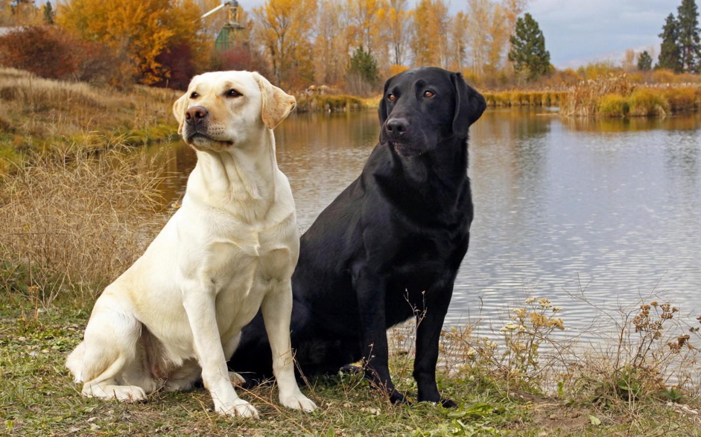Poznaj Labradora retrievera